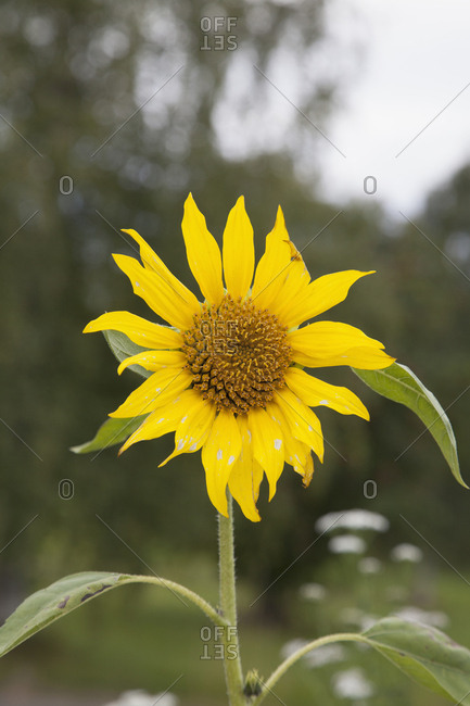 Close-up of sunflower blooming at field