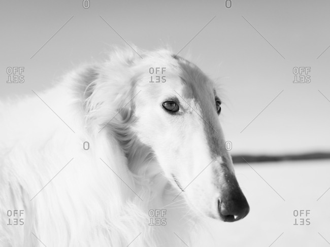 Portrait of Borzoi in field