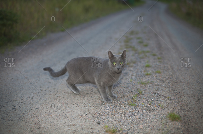 Full length view of gray cat on road