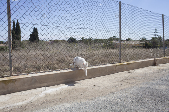 White cat passing through chainlink fence
