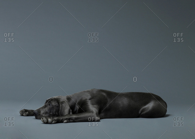 Studio shoot of big dog lying on floor