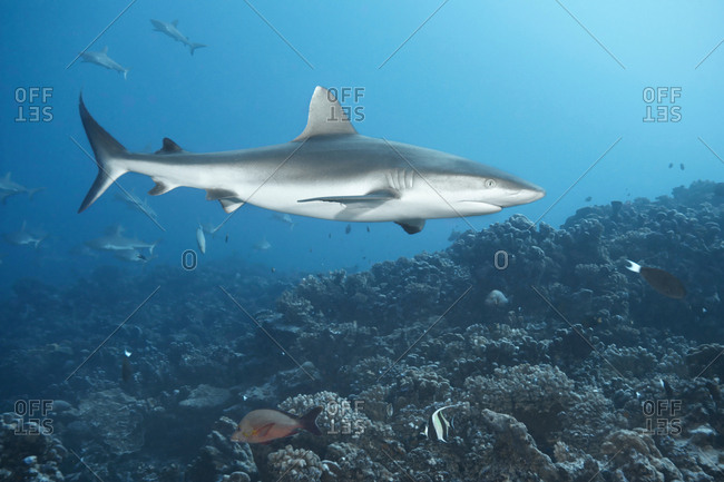 White tip reef shark swimming in coral