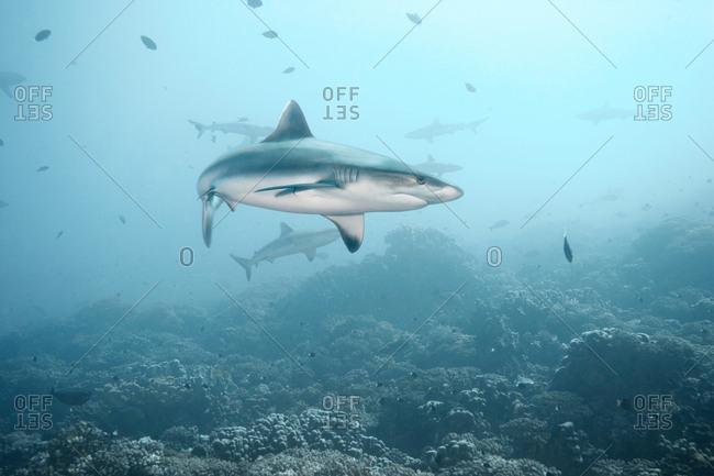 White tip reef shark swimming in ocean