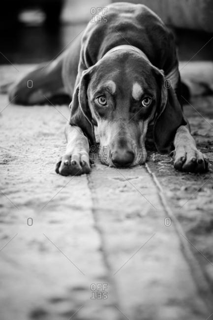Dog lying on floor looking tired