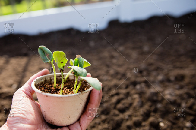Person holding a small pot with cucumber seedlings ready to be planted in a garden