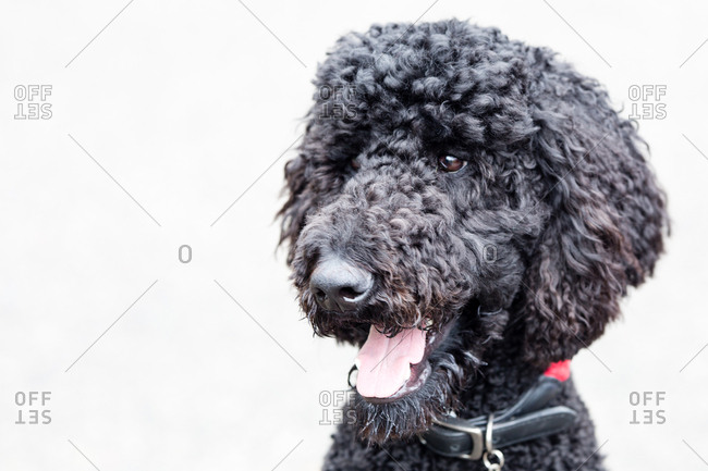 Portrait of a panting black poodle