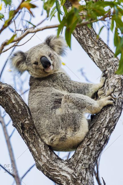 Wild Koala, Magnetic Island. Townsville, Queensland, Australia.