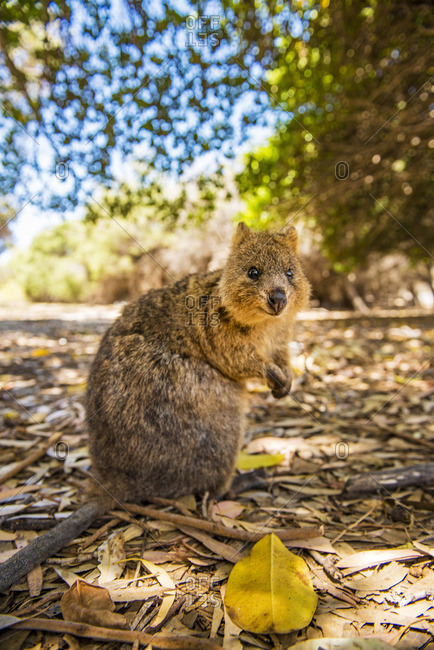 Rottnest Island, Fremantle, Perth, Western Australia, Australia. The popular Quokka standing upright looking at the camera.
