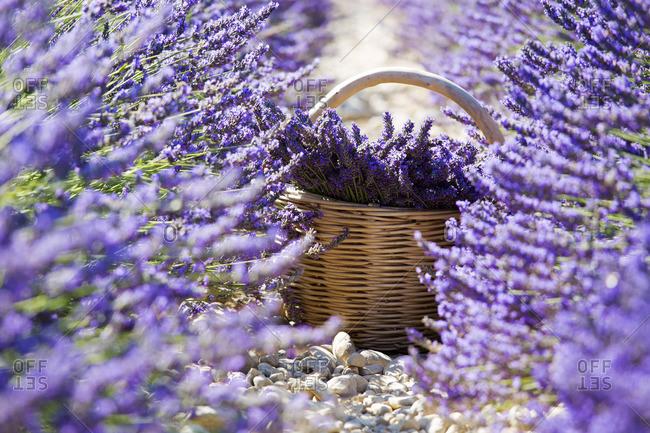 Europe, France, Provence Alpes Cote d'Azur,Plateau de Valensole, Lavender Rows