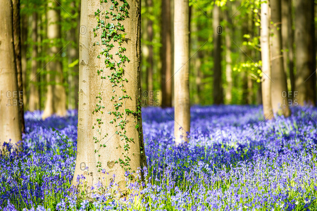 Belgium, Hallerbos, beech forest in Belgium full of blue bells flowers.