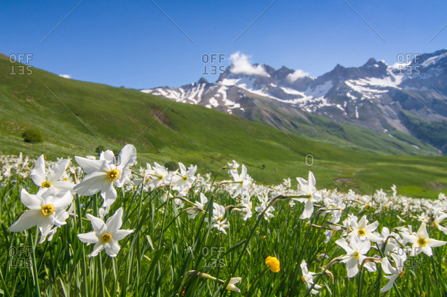 Blooming meadow of Narcissus at col du Lautaret in France