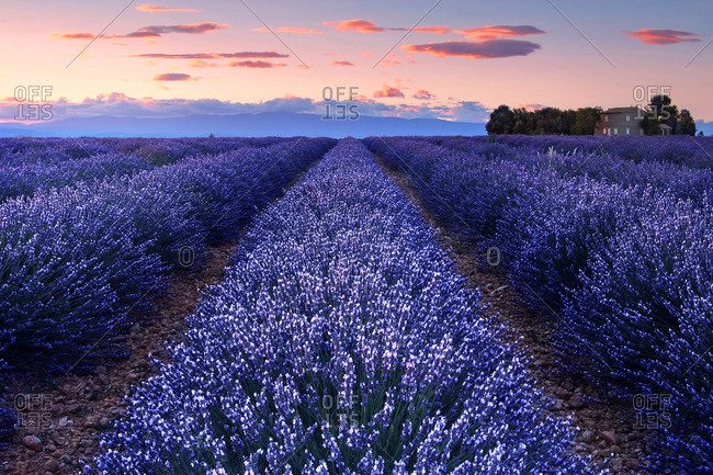 Just after sunset on the Valensole Plateau, Provence, Provence-Alpes d'Azur, France.