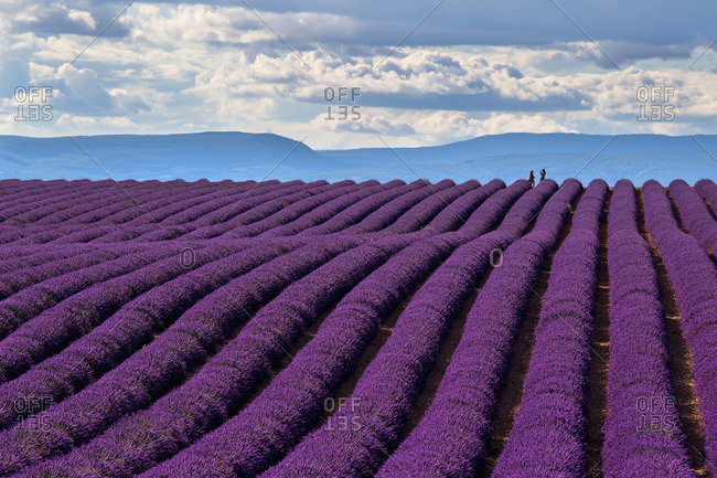 A wonderful day in valensole in purple waves of the sea, Valensole Plateau, Provence, Provence-Alpes d'Azur, France.