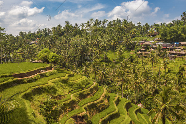 Bali, Indonesia - November 8, 2016: Bali, Indonesia, South East Asia. The paddy fields at the Tegalalang Rice Terrace.