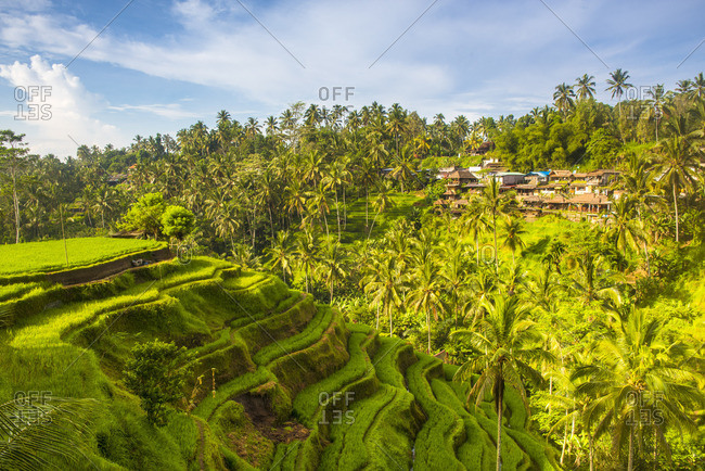 Bali, Indonesia, South East Asia. The paddy fields at the Tegalalang Rice Terrace.