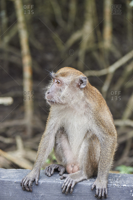 Long-tailed macaque on roadside in a mangrove forest, Langkawi, Malaysia, Southeast Asia, Asia