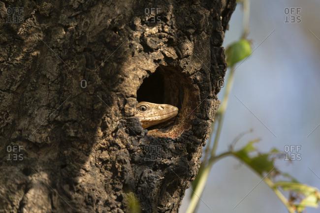 Common Indian monitor lizard (Varanus bengalensis), Bandhavgarh National Park, Madhya Pradesh, India, Asia