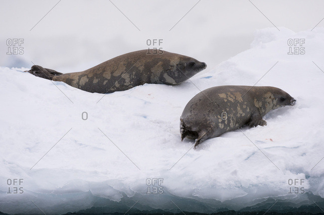 Crabeater seal (Lobodon carcinophaga) on the ice, Wilhelmina Bay, Antarctica, Polar Regions