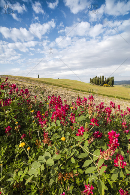 Red flowers frame the gentle green hills of Val d'Orcia, UNESCO World Heritage Site, Province of Siena, Tuscany, Italy, Europe