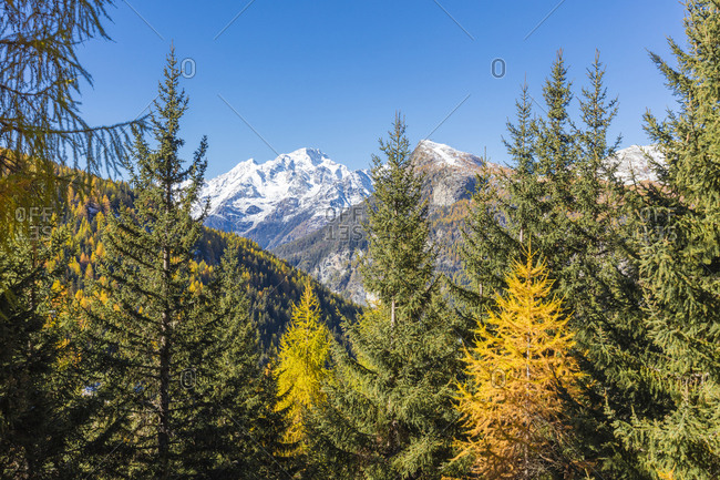 The colorful woods frame the snowy peak of Monte Disgrazia, Malenco Valley, Province of Sondrio, Valtellina, Lombardy, Italy, Europe
