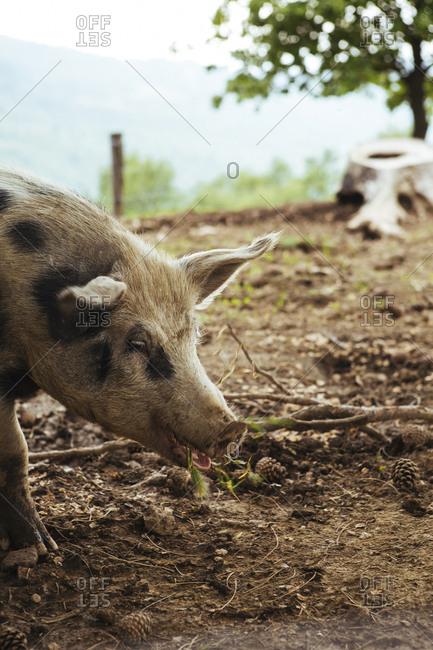 Free-range pig eating acorns on a farm, Tuscany, Italy