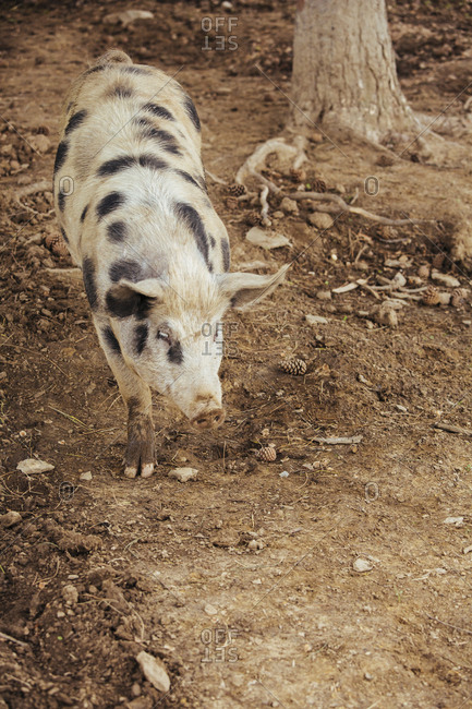 Free-range pig eating  acorns on a farm, Tuscany, Italy