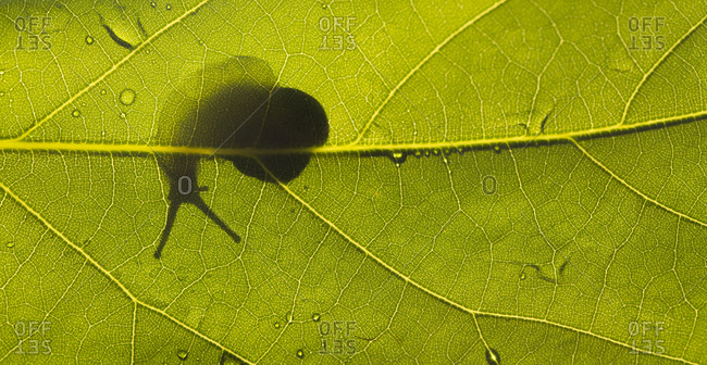 Silhouette of a backlit snail through a green leaf