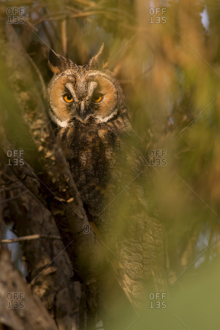 Long-eared Owl (Asio otus) in a tree. This owl inhabits woodland near open country throughout the northern hemisphere