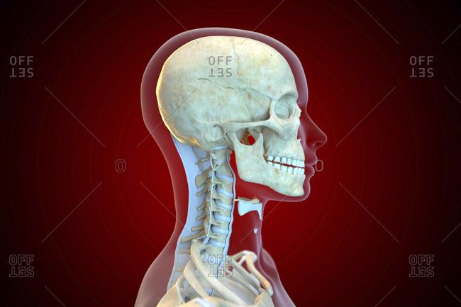 Human ligaments of the cervical spine, illustration.