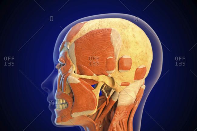 Human facial muscles, illustration.