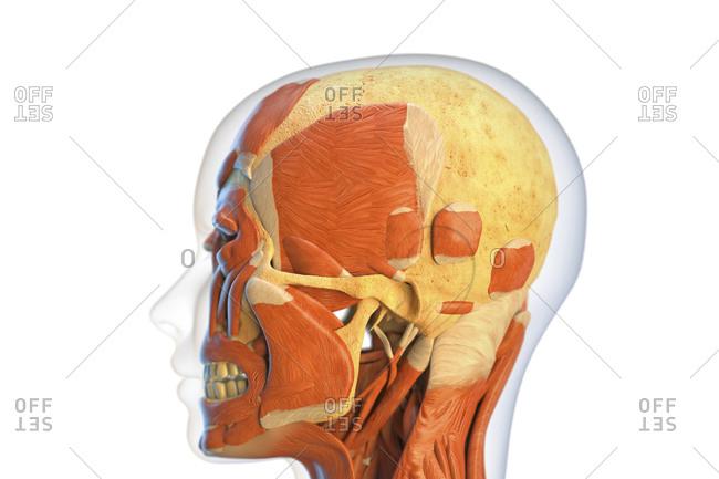 muscular system stock photos - OFFSET