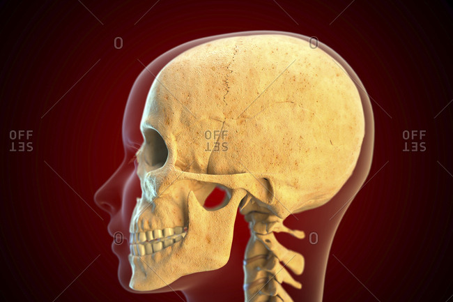 Human skull, illustration.
