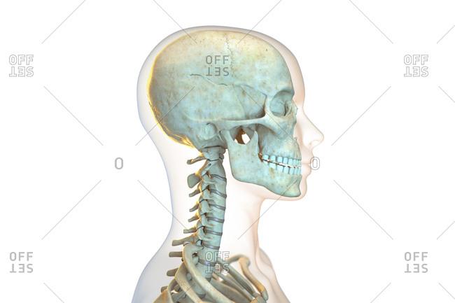 Human skull and cervical spine, illustration.