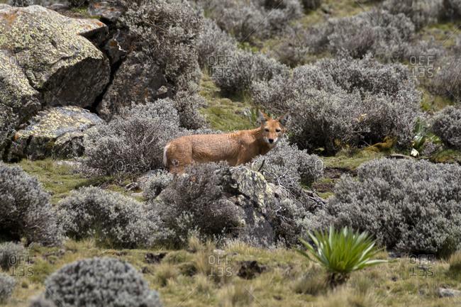 Africa, Ethiopia, Ethiopian Highlands, Western Amhara, Simien Mountains National Park, Ethiopian wolf (Canis simensis)