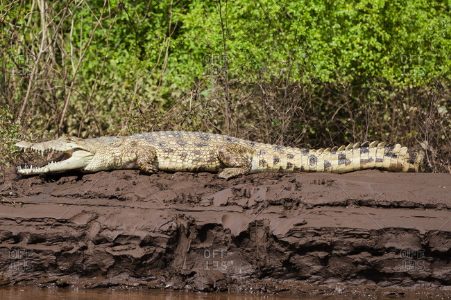 Africa, Ethiopia, South Omo, Omo River, Nile crocodile, (Crocodylus niloticus). Nile crocodile on the banks of the Omo River.