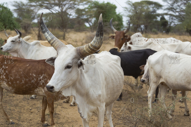 Africa, Ethiopia, Omo River Valley, South Omo, Hamer tribe. Typical cattle of the Hamer with distinctive markings as brands.