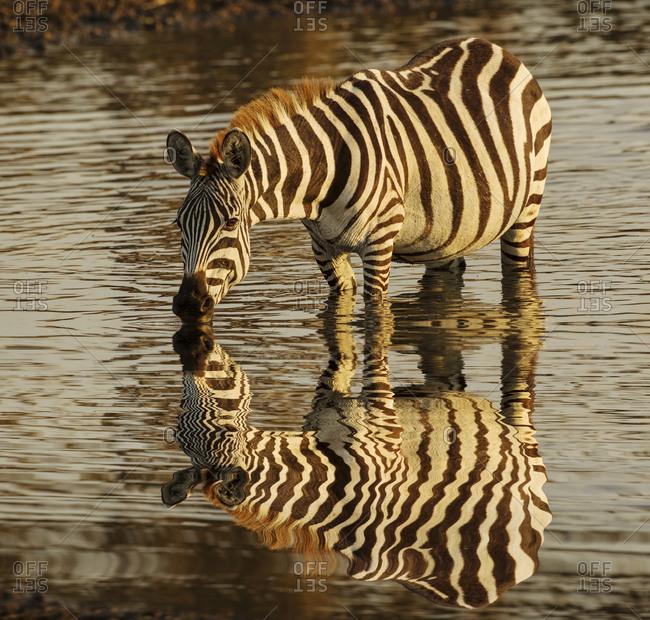 Burchell's zebra drinking at sunrise, Masai Mara, Kenya, Africa, Equus quagga