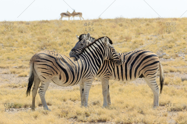 Africa, Namibia, Etosha National Park. Necking zebras with springboks in background.