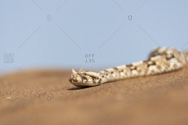 Africa, Namibia, Swakopmund, Horned Adder, Bitis candalis. Horned adder on the desert sand.