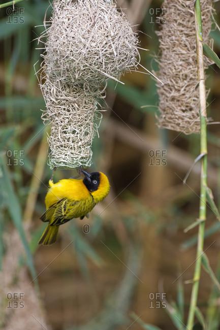 Africa, Namibia, Northwestern Namibia, Kaokoveld Conservation Area, Kunene River. Male masked weaver (Ploceus velatus) building a nest along the Kunene River.