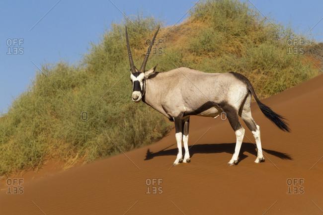 Africa, Namibia, Namib Desert, Namib-Naukluft National Park, Sossusvlei, gemsbok or Oryx (Oryx gazella). An Oryx standing on red sand in front of desert vegetation.