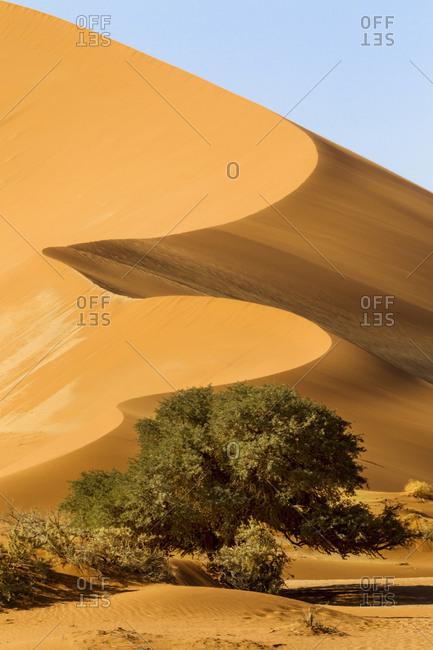 Africa, Namibia, Namib Desert, Namib-Naukluft National Park, Sossusvlei. Scenic red dune behind a camel thorn tree.