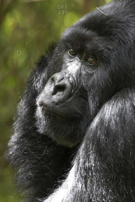 Africa, Rwanda, Volcanoes National Park. Portrait of a silverback mountain gorilla.