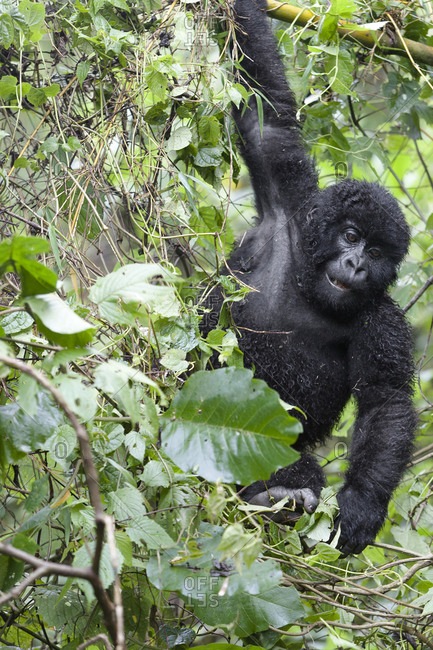 Africa, Rwanda, Volcanoes National Park. Young mountain gorilla swinging from a branch.