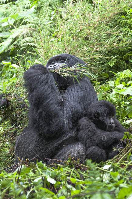Africa, Rwanda, Volcanoes National Park. Juvenile mountain gorilla sitting next to the eating silverback.