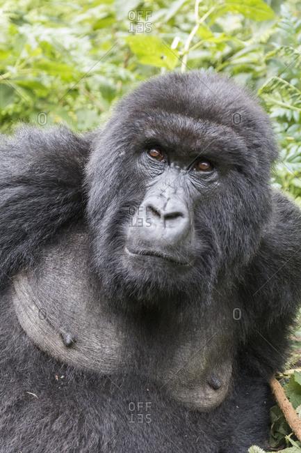 Africa, Rwanda, Musanze District, Volcanoes National Park, Ruhengeri, Kinigi. Gorilla, beringei beringei, Mountain gorilla.
