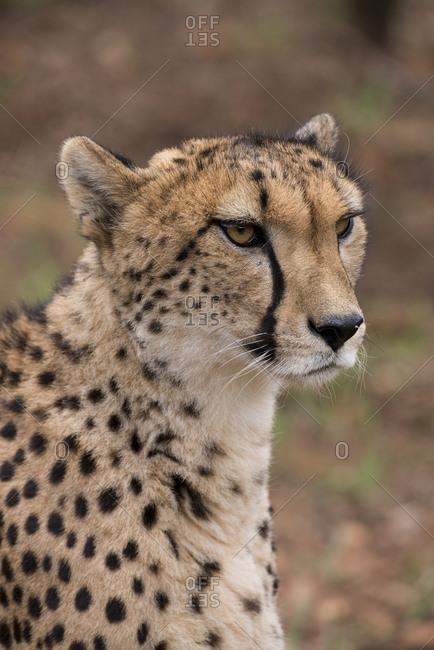 South Africa, Pretoria, Ann van Dyk Cheetah Center. Cheetah (Captive, on endangered list, Acinonyx jubatus)
