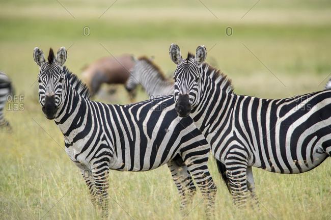 Africa, Tanzania, zebra