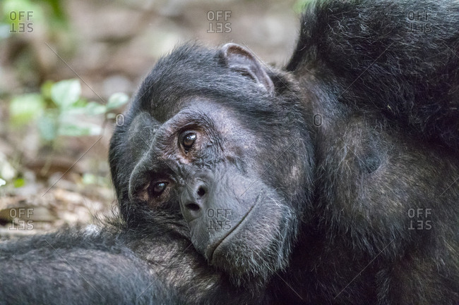Africa, Uganda, Kibale Forest National Park. Chimpanzee (Pan troglodytes) in forest.