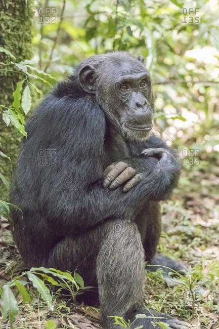 Africa, Uganda, Kibale Forest National Park. Chimpanzee (Pan troglodytes) in forest.